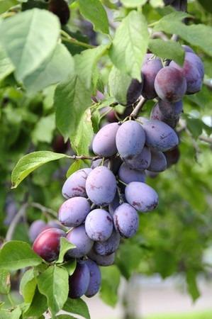 Prune (6).jpg