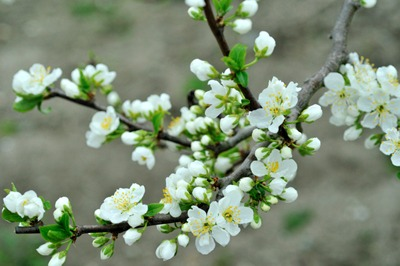 Prunus (11).jpg