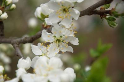 Prunus (3).jpg
