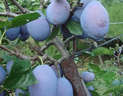 Prunus (5).jpg