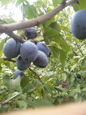 Prunus (9).jpg