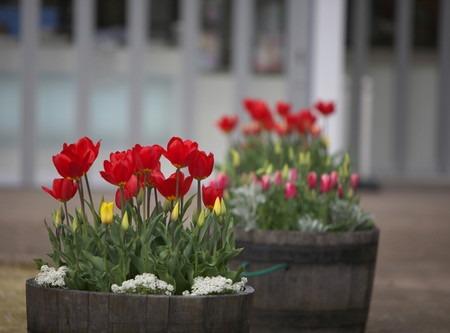 Pure breed tulip (1).jpg