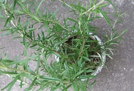 Rosemary11.jpg