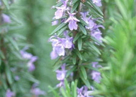 Rosemary (2).jpg