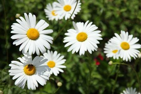 Shasta daisy (1).jpg