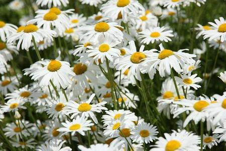 Shasta daisy (2).jpg