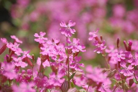 Silene2oomantema.jpg
