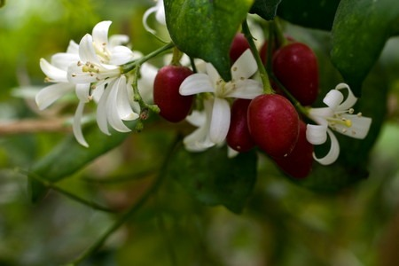 Silk jasmine (2).jpg