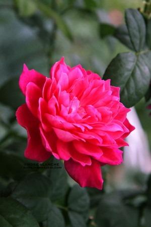 Sophys_Rose.jpg