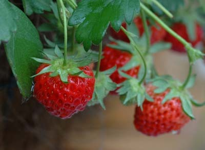 Strawberry (8).jpg