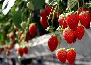 イチゴの栽培 育て方 5月−1.収穫と親株の植え付け