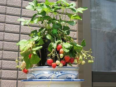 StrawberryB.jpg