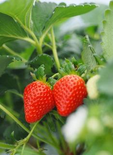 イチゴの栽培 育て方 5月−2.収穫株と親株の管理