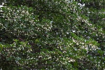 Styrax japonica.jpg