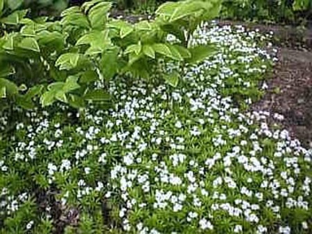 Sweet Woodruff.jpg
