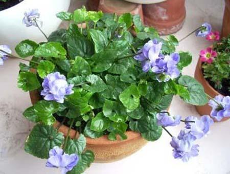Sweet violet (1).jpg