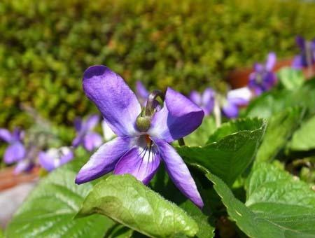 Sweet violet (2).jpg