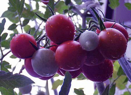 Toscana violet001.jpg