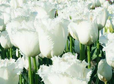 Tulipa (1).jpg