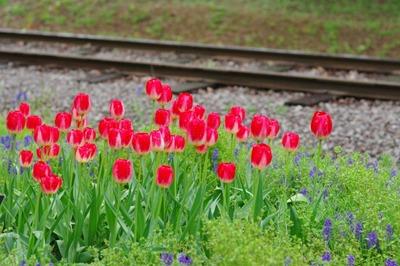 Tulipa (3).jpg