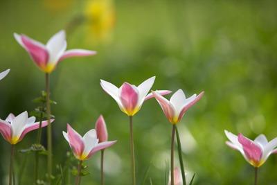 Tulipa (4).jpg