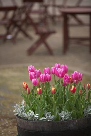 Tulipa (6).jpg