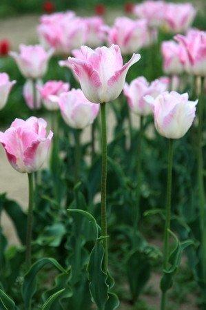 Tulipa (2).jpg