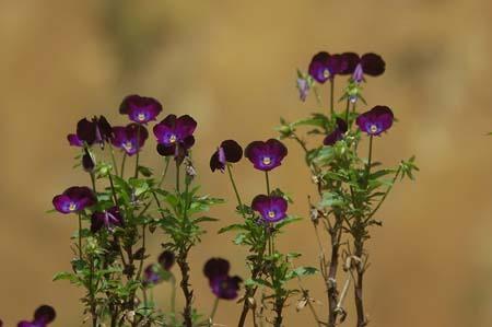 Viola (1).jpg