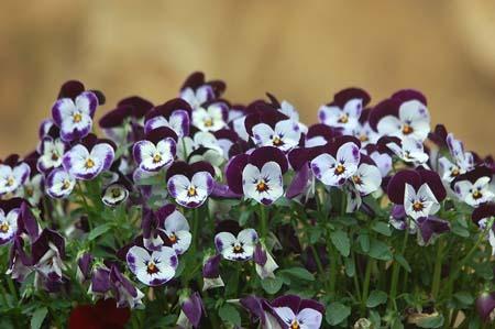 Viola (2).jpg