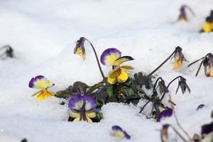 ビオラ 冬の育て方