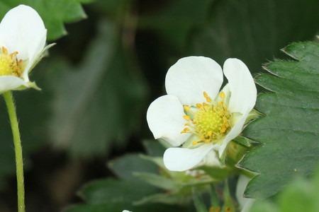 Wild strawberry  (5).jpg