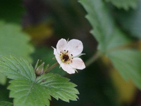 Wild strawberry (1).jpg