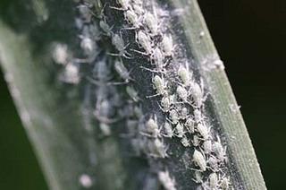 ミニトマトの育て方 栽培2 病虫鳥害対策