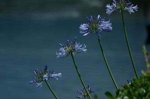 アガパンサス 花が咲かない