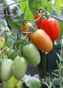 フルーツトマト 育て方