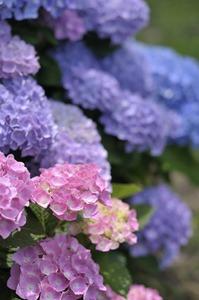 アジサイの育て方 10月−来年の花芽ができる時期です