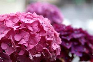 ハイドランジアの花後の管理