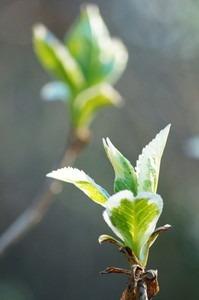アジサイ 葉が枯れるのは?