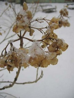 アジサイ 冬の管理と防寒対策
