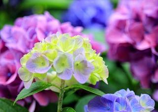 アジサイの育て方 4月−開花にいちばん大切な時期