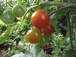 秋トマトの育て方