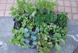 てしまの苗屋|イチゴ苗各種、旬の野菜苗が新鮮で豊富