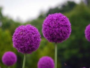 アリウム 花が咲かない
