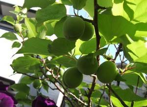 アンズ、イチゴが豊作|2014年6月上旬