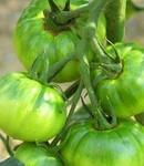 トマト 栽培のコツは?