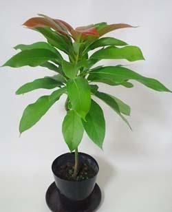 アボカドの育て方 栽培方法