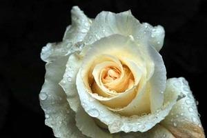 バラの育て方 9月|HT、フロリバンダ 鉢植え