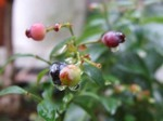 ワイルド ビルベリーの育て方と栽培方法