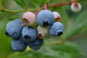 育てやすい果樹は?