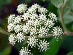ボタンボウフウ 長命草の育て方 栽培方法